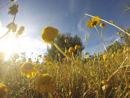 yellow field of wildflowers with a wooden bench in the background and blue sky.