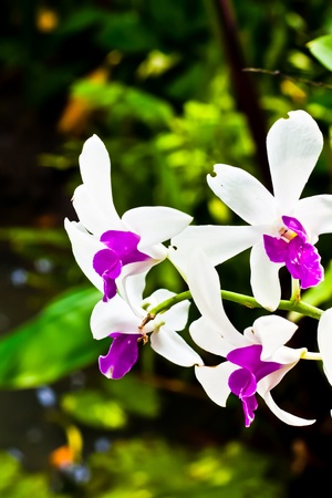 centers: dendrobium orchid with dark purple centers