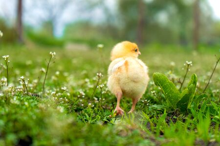 small yellow chicken walks in the summer on the green grass in the village.
