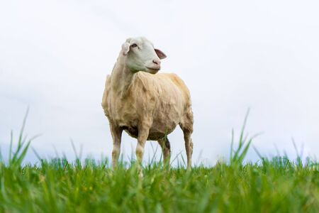 trimmed sheep stands on a field against a blue sky.