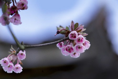 bell shaped: Bell shaped peach blossoms - bell shaped peach blossoms