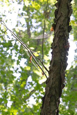 Cobweb op een boom Stockfoto