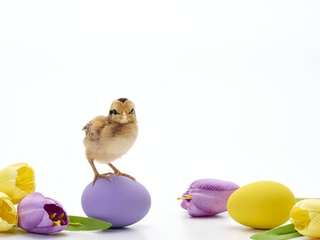 Easter composition with Colorful Easter eggs, chicks and tulips on white background.