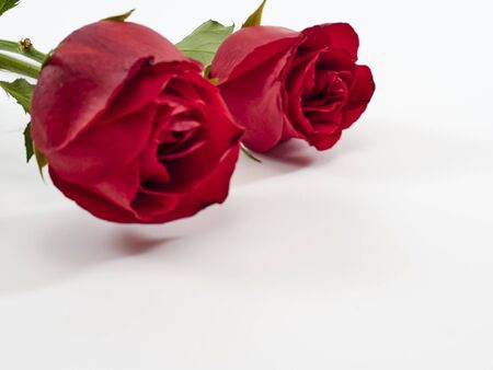 Valentine's Day background. Two red rose on white background. For card design and wedding.