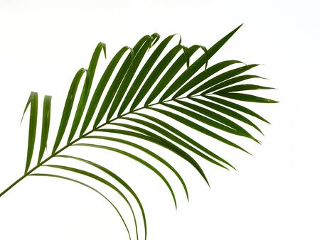 Green leaves palm isolated on white background with clipping path for design elements Stock fotó
