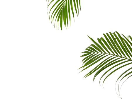 Green Tropical leaves palm tree on a white background with space for text. Top view, flat lay.