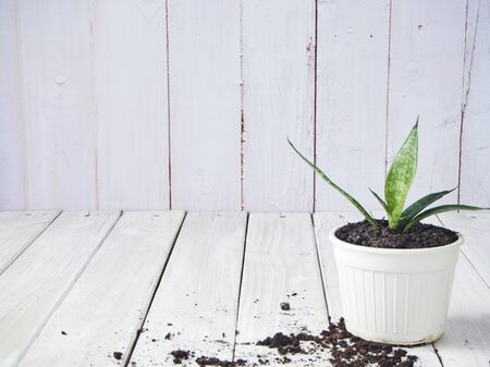 Soil preparation planting Sansevieria plants in white pots on old wooden with copy space.