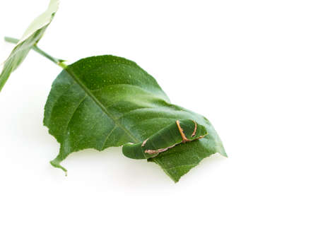 Caterpillar eating leaves on white background. Space for text