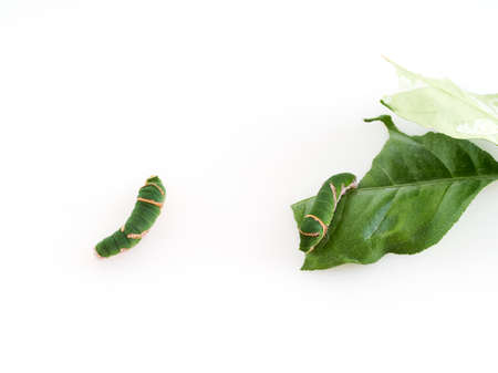 Caterpillars eating leaves on white background. Space for text