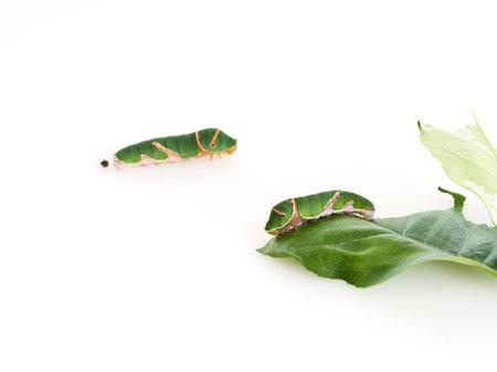 Caterpillars eating leaves on white background. Space for text Reklamní fotografie