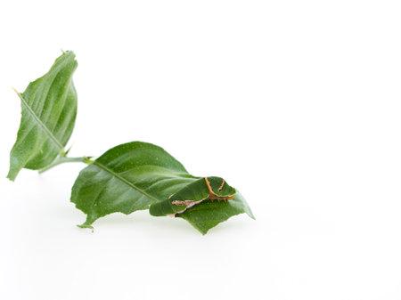 Caterpillar eating leaves on white background. Space for text Reklamní fotografie