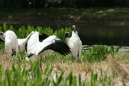 Wood Stork Sunning Stock Photo