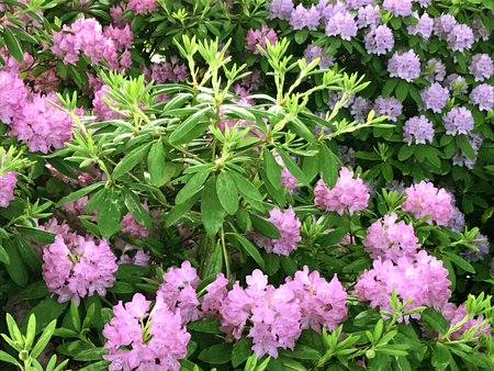 Rhododendron-flowers,in the city park under spring