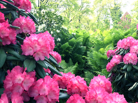 Rhododendron-flowers, in the city park under spring