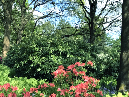 Rhododendron in the city park under spring Stock Photo