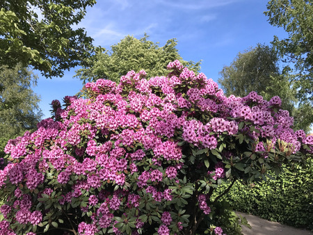Nature and flowers-rhododendron in the city park under summer