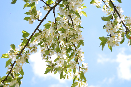 The apple trees are blooming white flowers in the city park under spring