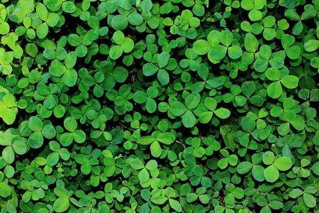 clover: Background from green leaves