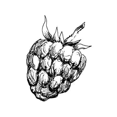 Vector monochrome illustration of raspberry . Many similarities