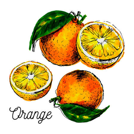 Hand drawn watercolor painting on white background. Vector illustration of fruit orange 矢量图像