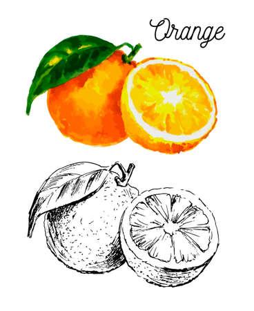 Hand drawn watercolor painting on white background. Vector illustration of fruit orange Çizim