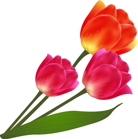 Vector isolated beautiful tulip flowers bouquet Stock Vector - 19355950