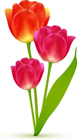 Vector isolated beautiful tulip flowers bouquet Stock Vector - 19355947
