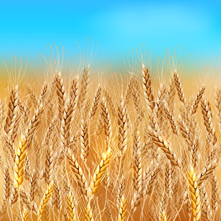 wheat harvest: Realistic vector summer wheat field under blue sky Illustration