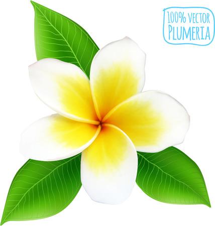 白い背景の上ベクトル現実的なプルメリアの花  イラスト・ベクター素材