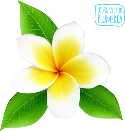 Vector realistic plumeria flower on white background Illustration