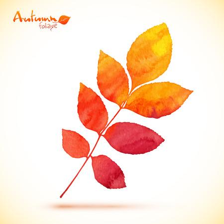 rowan: Orange watercolor painted rowan leaf Illustration