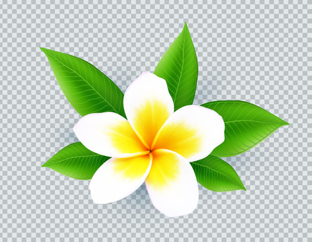 Realistic vector white frangipani flower isolated on transparent grid imitation background