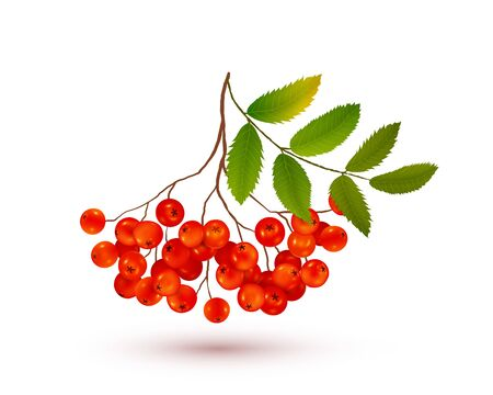 Red ripe rowan berries bunch with green leaves and shadow, vector realistic illustration on white background