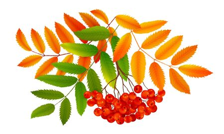 Bunch of red ripe rowan berries with green and orange autumn leaves, realistic vector illustration isolated on white background