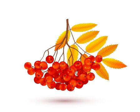 Red rowan berries bunch with orange autumn leaves, vector realistic illustration isolated on white background