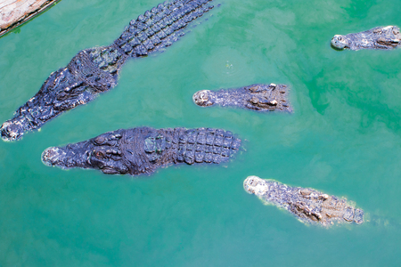 Overhead view of five crocodiles are in the pond filth water its large.