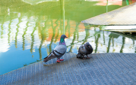Two pigeons on the steel plate river side and one bird drowsy.