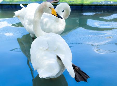 Swan Cygnus cygnus black-white beak adult with white feather. Is the same type of Cygnus buccinator.