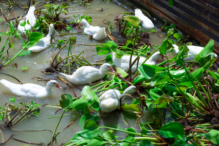 The ducks are eating water hyacinth in the pond. Stock Photo