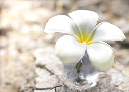 Close-up view. Plumeria spp. Or Frangipani flower is white-yellow on the ground is dry and light from the side. Stock Photo
