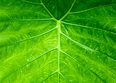 Close up view of leaves Elephant ear or Cocoyam with leaf pattern details and drops of dew from rain. For background and texture. Stock Photo