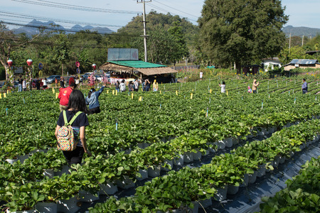 Si Sawat District, Kanchanaburi, Thailand-January o1.2018. Many tourists visit the gardens strawberries. And there are shops for sale.