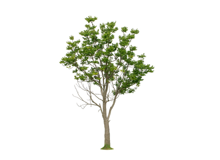 Azadirachta indica. Medium Neem tree isolated on white background.