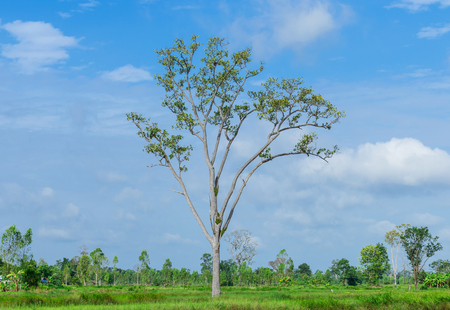 Dipterocarpus intricatus Dyer. The tall of tree in the middle of lush fields. Фото со стока