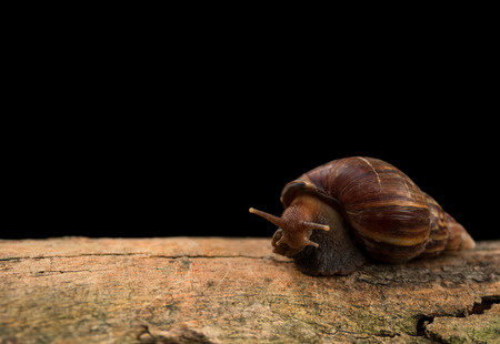 Close up view and dark shadow. Giant African Land Snail is on a bark with soft light in black background.