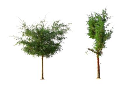 Casuarina equisetifolia L.Two Australian pine tree isolated on white background. Reklamní fotografie