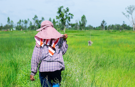 Rear view and copy space. A farmer wearing a hat. Walking in the rice field and holding a knife. In rural of Thailand.