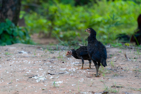 Close up view chick flock is pecking rice kernels on the ground in countryside of Thailand. 免版税图像