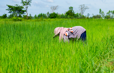 A farmer is bending down to remove weed grass. In the rice field of Thailand. Imagens
