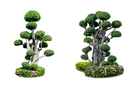 Streblus asper Lour. Siamese rough bush or dwarf tree. Merging of Ornamental plants that have different shapes. Suitable for garden decoration for beauty of place. Isolated on white background. Stock Photo